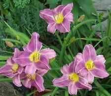 """Prairie Blue Eyes"" 28 Tall  Lavender with Blue Eye Daylily Clump - 3-5 fans"
