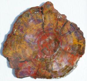 Very Large, Polished Arizona Petrified Wood Round