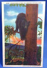 Vintage Original Black Bear in Yellowstone National Park Postcard