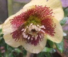 CODONE HELLEBORUS orientalis COSMO Ceppo - 1 pianta perenne IN VASO 9cm