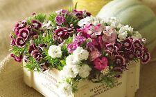 Heirloom 1000 Seeds Dianthus chinensis Dash Carnation Sweet William Mix Flower