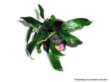 Live aquarium plant - Anubias minima variegated
