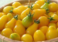 Gelbe Birne Tomate - Yellow Pear Tomate - 10+ Samen - HONIGSÜß