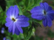 8 graines de FLEUR AMETHYSTE(Browallia Americana)X363 AMETHYST FLOWER SEEDS SEMI