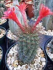 Matucana pujupatii, red flower exotic flowering cacti rare cactus seed 50 SEEDS