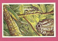 Wasp & Praying Mantis Animals of Africa Congo Van Tieghem Dupont Card #84