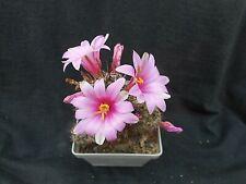 Mammillaria alamensis