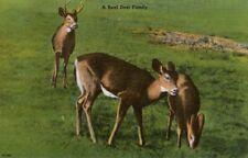 Vintage Wildlife Postcard, Mother Deer Family, Buck, Doe and Fawn.