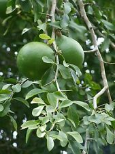 50 Aegle marmelos Tree Seeds Sacred Bael golden apple Bengal Quince