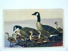 Canada Goose Gander National Wildlife Federation #10 Postcard 1939 Lynn B. Hunt