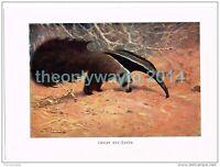 GREAT ANT-EATER, BOOK ILLUSTRATION (PRINT), LYDEKKER, c1916