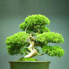 80PCS Juniper Bonsai Tree Seeds Potted Flowers Bonsai Office Air Purifying Green