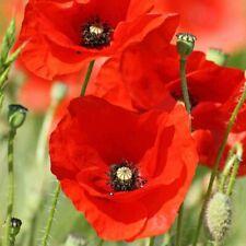 American Legion Poppy Seeds Veterans. 1000 Seeds Papaver fresh
