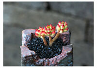 cut 6cm Sedeveria Letizia Succulent live Plant Home Garden Rare Grow Flower pot
