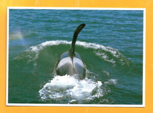 UK  POSTCARD   WHALE - ORCAS ..PHOTO BY ROBIN BRANDT