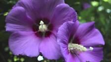 "Rose of Sharon - ""Purple Satin"" -hardy perennial  15 seeds -Hibscus Syriacus"