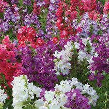 Penstemon - Sensation Mix (approx 200 seeds) - Bonus Inside