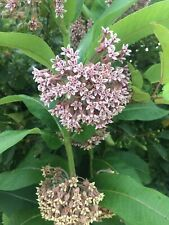 Wild common milkweed seeds (30)