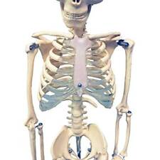 Anatomical Chart Company Mr. Thrifty Skeleton