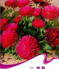 FD1534 Daisy Seed Bellis Perennis Marguerite Garden Flower ~1 Pack 50 Seeds~