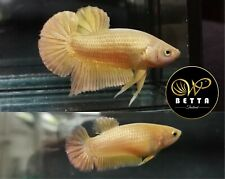 LIVE BETTA FISH PAIR CLEAN SUPER GOLD SOLID COLOR HMPK READY TO BREEDING (SG3)
