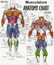 "Musculature Anatomy Chart Fabric poster 28"" x 24"" Decor 20"