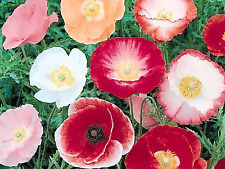 "Poppy Seeds ""SHIRLEY"" ( Appox 1500 Seeds ) Beautiful Selection"