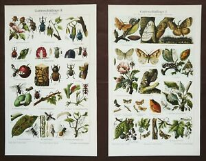 1897 Set of 2 Antique lithographs of INSECTS HARMFUL to PLANTS. Phytopathology.
