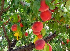 PESCO Semi Freschi! esotico Frutto Commestibile Tree! fioritura, ideale per bonsai!
