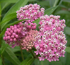 75 RED SWAMP MILKWEED Rose Asclepias Incarnata Seeds