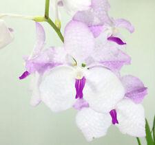 Orchid - Vanda Pink Drop Coerulea Pink ….. Stock #325