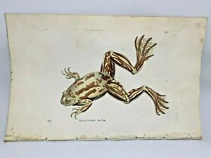 Paradoxical Frog - 1783 RARE SHAW & NODDER Hand Colored Copper Engraving