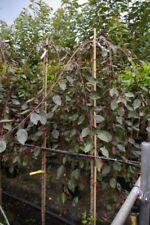 Malus Royal Beauty Stamm - Zierapfel - 120cm