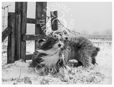 BEARDED COLLIE Beardie Photo art print 'Winter Walk' by Lynn Paterson