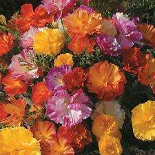 Jelly Bean Poppy  California Bright  annual 30 seeds