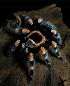 Brachypelma Hamorii Tarantula Legspan:2-3cm LIVEFOOD grown On Sling