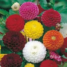 "25+ DAHLIA ""POMPON"" MIX FLOWER SEEDS / ANNUAL - PERENNIAL- 3-4 FEET TALL - EASY"