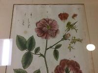 original BLACKWELL Botanical handcolored print: circa 1730s-- ROSA RUBRA - ROSE