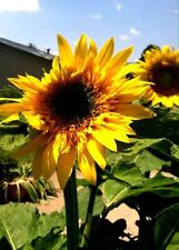Sunflower #25  Yellow petals 6 ft.tall. Looks like Tree w/ many Heads! 15 Seeds