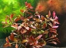rare!  ludwigia repens rubin SUPER RED   plante facile tres rouge aquarium