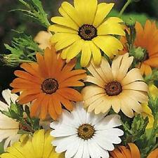 3,000 African Daisy Mix Seeds FLOWER SEEDS