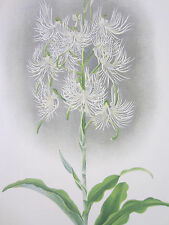 Linden Lindenia Large Print Orchid Habenaria medusa - 1888