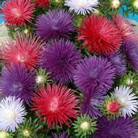Kings Seeds - Aster Starlight Mixed -  200 Seeds
