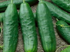 250 Straight Eight Heirloom Cucumber Seeds Cucumis Sativus - Gift - COMB S/H
