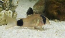 5+1  Panda Corydoras Live Fish 2 Day Fedex Shipping