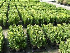 100 Buchsbaum Pflanzen im Topf, Buxus, Höhe: 10-15 cm