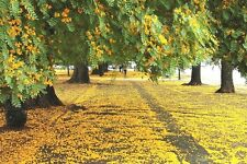 Palo Rosa - TIPUANA TIPU (BENTH) KUNTZE - 4 Semillas - Jardín Árboles Flores