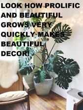 Monstera Deliciosa �� Split Leaf Philodendron �� Beautiful ��Ships Bare Root