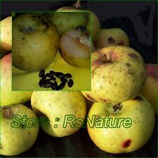 Wild Apple Seeds, malus sylvestris, Unique Very RARE, from Thailand, 20 Seeds