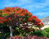 Der Feuerbaum eine Augenweid mit seiner üppigen feuerroten Blütenpracht Exotisch